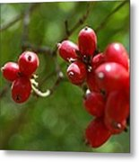 Dogwood Berries Metal Print by Beverly Hammond