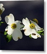 Dogwood Blossom - Beelightful Metal Print