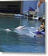 Dolphin And Trainer At The Underwater World In Sentosa In Singap Metal Print