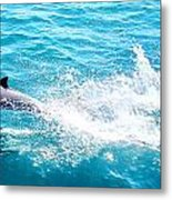 Dolphin In Baja Metal Print