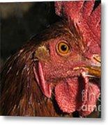 Domestic Chicken Metal Print