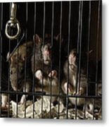 Domestic Rats At The George M. Sutton Metal Print