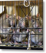 Domestic Rats At The Sutton Avian Metal Print