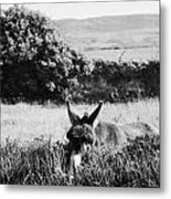 Donkey In The West Of Ireland Metal Print