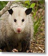 Don't Mess With Me Opossum Metal Print