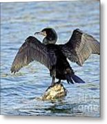 Double Crested Cormorant Wings Spread Metal Print