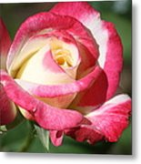 Double Delight Rose Metal Print