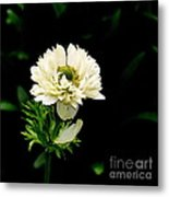 Double Poppy Anemone Metal Print