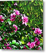 Double Rose Of Sharon Metal Print