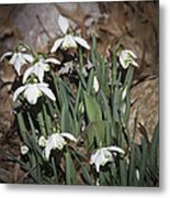 Double Snowdrops Squared Metal Print