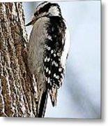 Downy Woodpecker 4 Metal Print