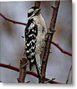 Downy Woodpecker 7 Metal Print