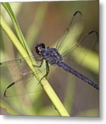 Dragonfly - Little Boy Blue Metal Print