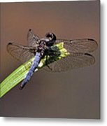 Dragonfly On Goose Feather Pond  - C2121b Metal Print