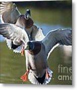 Dramatic Ducks Metal Print