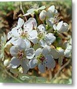 Dreams Of Pear Blossoms Metal Print