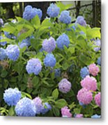 Dreamy Blue And Pink Hydrangeas Metal Print