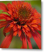 Dreamy Hot Papaya Coneflower Bloom Metal Print