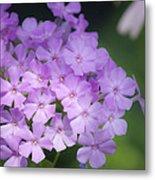 Dreamy Lavender Phlox Metal Print