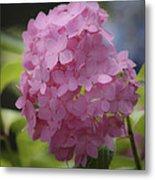Dreamy Pink Mophead Hydrangea Squared Metal Print
