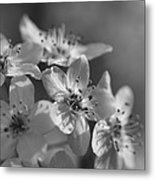 Dreamy Spring Blossoms In Black And White Metal Print