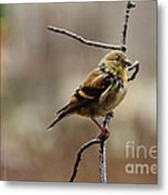 Drenched Finch Metal Print