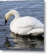 Dribbling Swan Metal Print