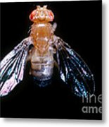 Drosophila With Dichaete Wings Metal Print