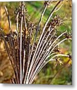 Dry Queen Anns Lace I Metal Print