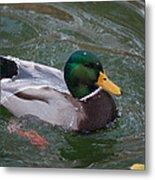Duck Bathing Series 3 Metal Print by Craig Hosterman