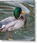 Duck Bathing Series 5 Metal Print