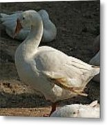 Duck Enjoying The Sun In The Winter In Delhi Zoo Metal Print