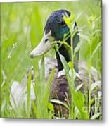 Duck In The Green Grass Metal Print