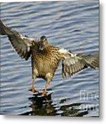 Duck Landing Metal Print
