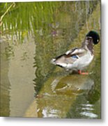 Duck On A Ledge Metal Print