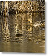 Duck Ripples Metal Print