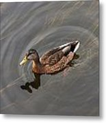 Duck Swimming In Clear Water St Metal Print