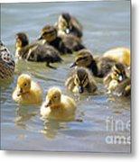 Ducklings 09 Metal Print