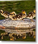 Ducklings Catch Some Rays Metal Print
