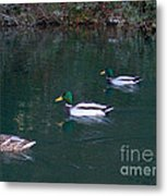 Ducks In A Line  Metal Print by The Kepharts