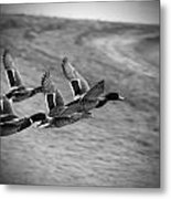 Ducks In Flight V2 Bw Metal Print