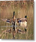 Ducks Of Douglas Metal Print