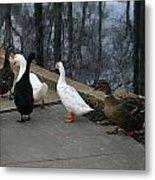 Ducks On A Walk Metal Print