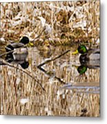 Ducks Reflect On The Days Events Metal Print