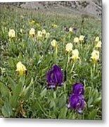 Dwarf Iris (iris Pseudopumila) Metal Print
