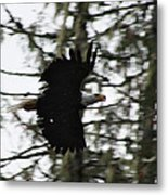 Eagle Fly By Metal Print
