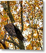 Eagle In Autumn Metal Print