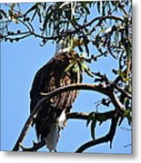 Eagle Under Cover Metal Print