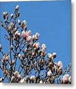 Early Flowering Magnolia Metal Print