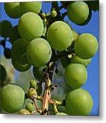 Early Grapes Metal Print